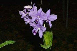 Cattleya Bowringiana Coerulea - Tamanho 3
