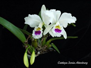 Cattleya Sonia Altenburg - Pré Adulta