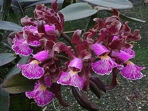 Cattleya Schilleriana - Adulta (poucas unidadeS)