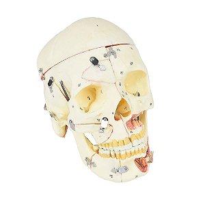 Crânio Humano, com Mandíbula, Vasos e Nervos, em 10 partes