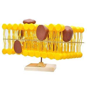 Modelo Anatômico da Membrana Celular