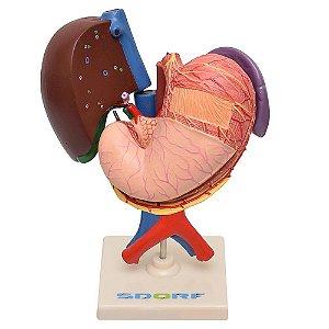 Modelo Anatômico do Fígado, Vesicular Biliar, Estômago, Pâncreas, Baço e Duodeno em 6 Partes