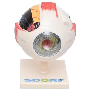 Modelo Anatômico do Olho - 7 partes
