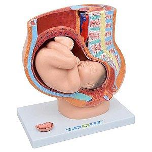 Modelo Anatômico da Pelve Feminina com Gravidez - 4 partes