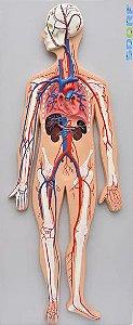 Modelo em Prancha do Sistema Circulatório Sanguíneo