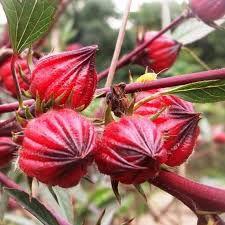 Hibisco - Hibiscus sabdariffa