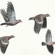 Imã pequeno - Asa-branca voando