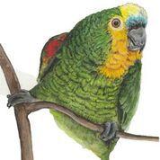 Imã pequeno - Papagaio-verdadeiro