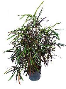 Croton Fita