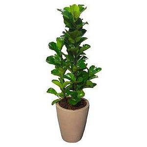 Ficus Lyrata no Vaso de Polietileno