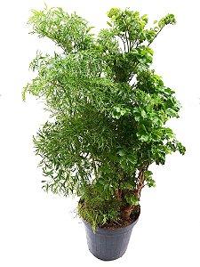 Árvore da Felicidade (60 a 70 cm)