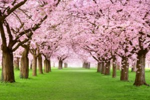 "Painel Fotográfico ""Cherry Blossom Tree"""