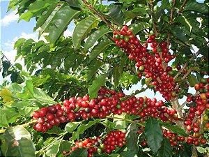 Muda de Café IPR 107 - Livre de Agrotóxicos