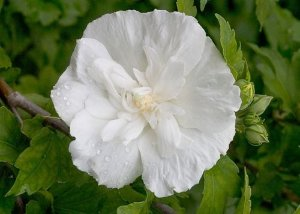 Hibisco Síria Branco - Muda com 30cm