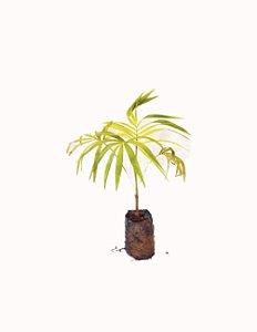 Muda de Palmito Jussara - Cultivo sem agrotóxicos