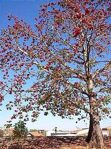Paineira Vermelha - 1 Muda  - Cultivo Livre de Agrotóxicos