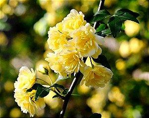 Muda de Rosa Banksiae Lutea (Lady Banks Rose)