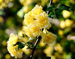 Muda de Rosa Banksiae Lutea (Lady Banks) - 1 muda