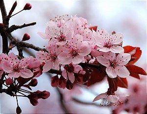 Cerejeira Sakura Okinawa - 1 Muda