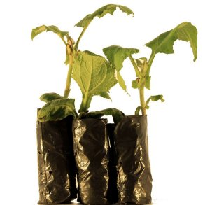 Batata Yacon (3 Mudas Preparadas) - Cultivo livre De Agrotóxicos