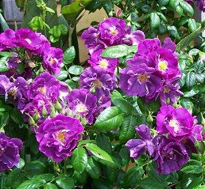 Rosa Trepadeira (lilas) - 1 Vaso Com 1 Muda