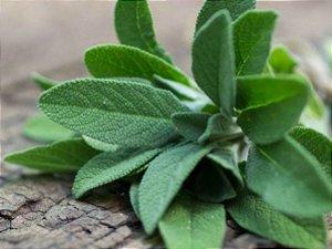 Sálvia - Vaso Com Muda - Sem Agrotóxicos