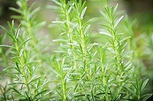 Alecrim - Vaso Com Mudas - Cultivo Sem Agrotóxicos