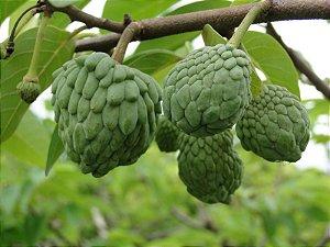 Atemoia - 1 Muda de 1m - Cultivo Sem Agrotóxico!