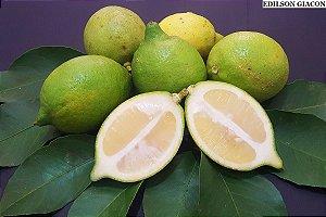 Limão Doce (Enxertado) - 1 Muda Média - Próxima de Produzir!