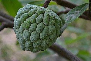 Fruta Do Conde - 1 Muda (1m de altura) - Sem agrotoxico