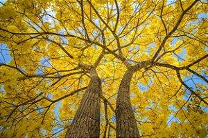 Ipê Amarelo - 1 Muda Média
