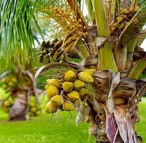 Coco Anão Precoce - 1 Muda Livre De Agrotóxicos!