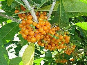 Fruta Do Sabiá - 1 Muda Pequena (Estaquia)