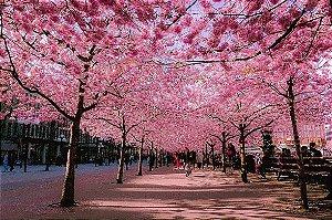 Cerejeira Sakura Okinawa - 1 Muda Com 1,2m de altura