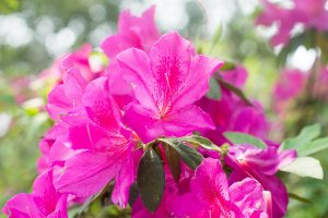 Azaleia Rosa - 1 Muda Grande - Já Florindo!
