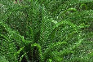 Mil folhas - 1 Muda De 30cm