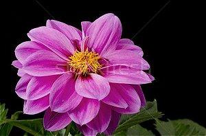 Dalia - 4 bulbos (rosa claro e rosa escuro)