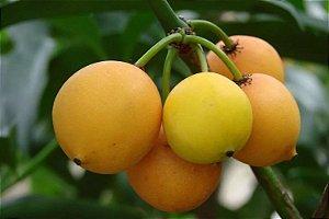 Bacupari - 1 Muda Média - Cultivo Livre de Agrotóxicos