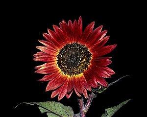 Girassol Sol Noturno - 20 Sementes - Isla- Frete grátis