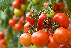Tomate Cereja - 250 Sementes - Isla- Frete grátis