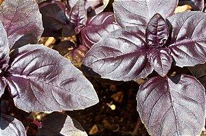 Manjericão Alfavaca Basilicão Vermelho - 65 Sementes - Isla- Frete grátis