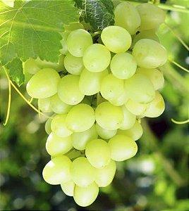 Uva Itália Verde - 1 Muda Enxertada - Livre De Agrotóxicos!