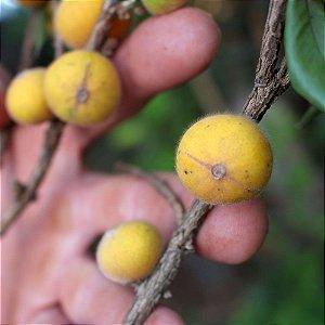 Cabeludinha / Jabuticaba Amarela - 1 Muda Média - Cultivo sem Agrotóxico