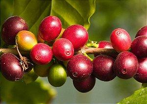 Camu Camu - 1 Muda Média - Cultivo Livre de Agrotoxico
