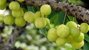 Groselha Tropical  de arvore- 1 Muda Média - Cultivo Sem Agrotóxicos