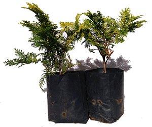 Tuia Europa - 2 Mudas Ornamentais(p/ Vaso, Bonsai Ou Jardim)
