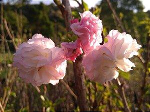 Cerejeira Prunus Serrulata Var. Kanzan - 1 Muda grande