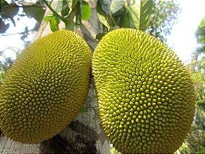 Jaca Dura - 1 Muda Média - Cultivo Livre De Agrotóxicos!