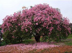 Paineira Rosa - 1 Muda Pequena - Cultivo Livre de Agrotóxicos