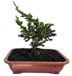 Bonsai Junípero - 1 Muda - Foto Real